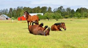 在马农场的马 愉快的寿命 免版税库存照片