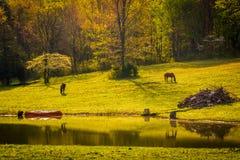 在马和一个池塘在雪伦多亚河谷,虚象的早晨光 库存照片