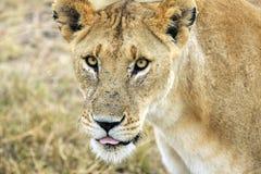 在马塞人玛拉储备,肯尼亚的雌狮 免版税图库摄影