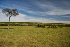 在马塞人玛拉国家储备,肯尼亚的大草原 库存照片