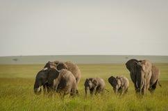 在马塞人玛拉国家储备,肯尼亚的非洲大象 免版税库存照片