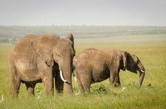 在马塞人玛拉国家储备,肯尼亚的非洲大象 库存图片