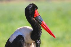 在马塞人玛拉国家公园备鞍开帐单的鹳 免版税库存照片
