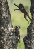 在马塞人玛拉国家公园的嬉戏的狒狒 库存图片