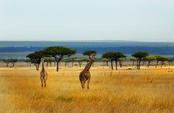 在马塞人玛拉的浩大的平原的长颈鹿 免版税图库摄影