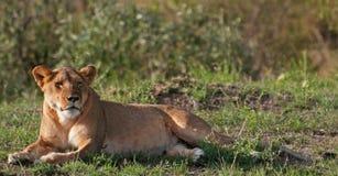 在马塞人玛拉的雌狮 库存图片