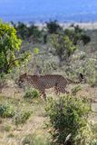 在马塞人玛拉肯尼亚的非洲猎豹 免版税库存照片