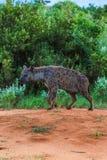 在马塞人玛拉肯尼亚的非洲鬣狗 库存照片