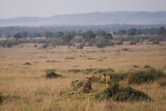 在马塞人玛拉,肯尼亚的平原的狮子 图库摄影