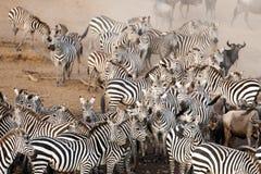 在马塞人玛拉,肯尼亚的斑马 免版税库存照片