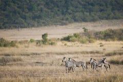 在马塞人玛拉,肯尼亚的斑马 库存图片