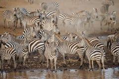 在马塞人玛拉,肯尼亚的斑马 库存照片