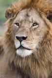 在马塞人玛拉,肯尼亚的男性狮子画象 免版税图库摄影