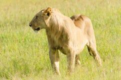 在马塞人玛拉,肯尼亚的雌狮 库存图片
