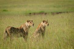 在马塞人玛拉,肯尼亚的雌狮 库存照片
