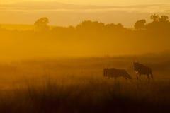 在马塞语玛拉的日出wildebeeste 库存图片