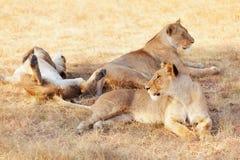 在马塞语玛拉的雌狮 图库摄影