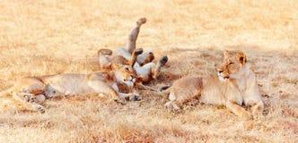 在马塞语玛拉的雌狮 库存图片