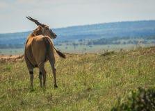 在马塞语玛拉的非洲大麻羚羊在肯尼亚 库存照片