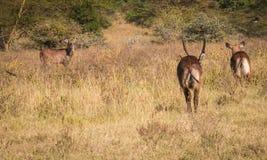 在马塞语玛拉的非洲水山羊在肯尼亚 库存照片