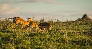 在马塞语玛拉的非洲羚羊飞羚在肯尼亚 图库摄影
