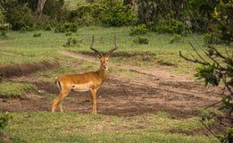 在马塞语玛拉的非洲羚羊飞羚在肯尼亚 库存图片