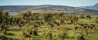 在马塞语玛拉的非洲羚羊飞羚在肯尼亚 库存照片