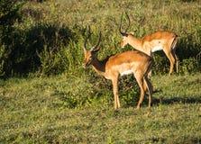 在马塞语玛拉的非洲羚羊飞羚在肯尼亚 免版税库存照片
