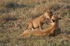 在马塞语玛拉,肯尼亚的幼狮 库存图片
