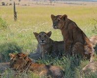在马塞语玛拉,肯尼亚的幼狮 免版税库存图片