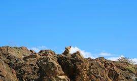 在马塞语玛拉,肯尼亚的雌狮 图库摄影