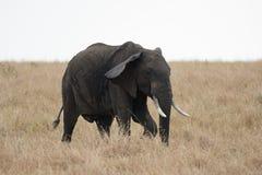 在马塞语玛拉,肯尼亚的非洲象牙大象 免版税库存照片