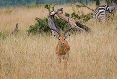 在马塞语玛拉,肯尼亚的飞羚鹿 免版税库存照片