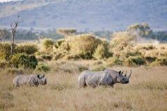 在马塞语玛拉,肯尼亚的黑犀牛 免版税图库摄影