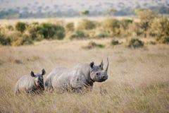 在马塞语玛拉,肯尼亚的黑犀牛 图库摄影