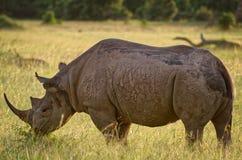 在马塞语玛拉,肯尼亚的黑犀 免版税库存图片