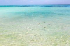 在马尔代夫原始水狩猎的黑技巧礁石鲨鱼在小组 免版税库存图片
