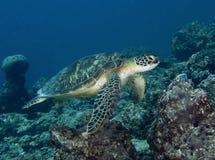 在马尔代夫,水下的履带牵引装置、五颜六色的鱼和乌龟跳舞以和谐 免版税图库摄影