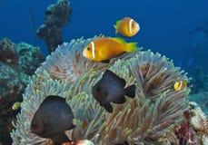 在马尔代夫,水下的生物,五颜六色的鱼跳舞以和谐 免版税图库摄影