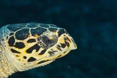 在马尔代夫,水下,被伪装的鱼等待它的牺牲者 免版税库存图片