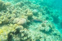 在马尔代夫海岛附近的异乎寻常的海洋生物 免版税库存图片