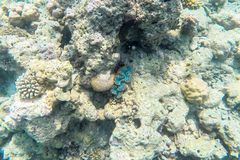 在马尔代夫海岛附近的异乎寻常的海洋生物 免版税库存照片