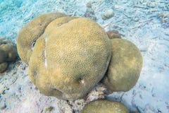 在马尔代夫海岛附近的异乎寻常的海洋生物 免版税图库摄影