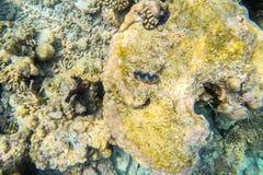 在马尔代夫海岛附近的异乎寻常的海洋生物 图库摄影