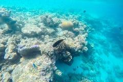 在马尔代夫海岛附近的异乎寻常的海洋生物 库存图片