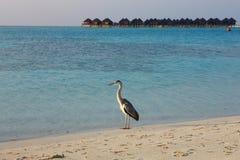 在马尔代夫的苍鹭 免版税图库摄影