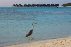 在马尔代夫的苍鹭 库存照片