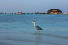 在马尔代夫的苍鹭 图库摄影