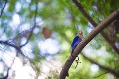 在马尔代夫的逗人喜爱的矮小的五颜六色的鸟 库存图片
