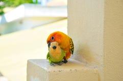 在马尔代夫15的鹦鹉 免版税库存图片
